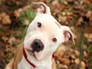 Pit bull Dogs Curious pictures