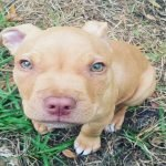 Red Nose Pit Bull Puppy Cute