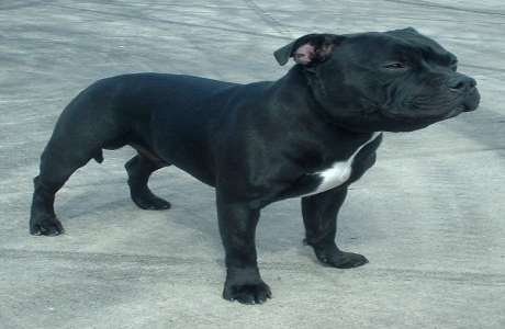 STAFFORDSHIRE BULL TERRIER Black