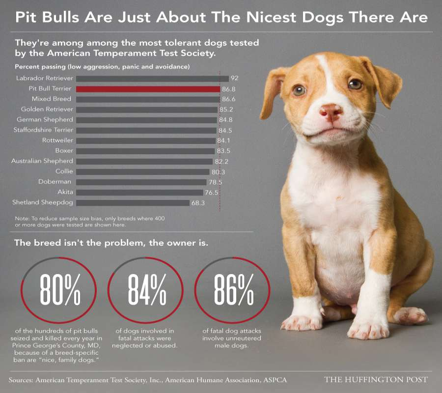 Temparament Of Pit bull dogs Breed Infographic