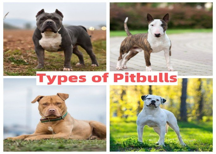 Different Types of Pitbulls guide