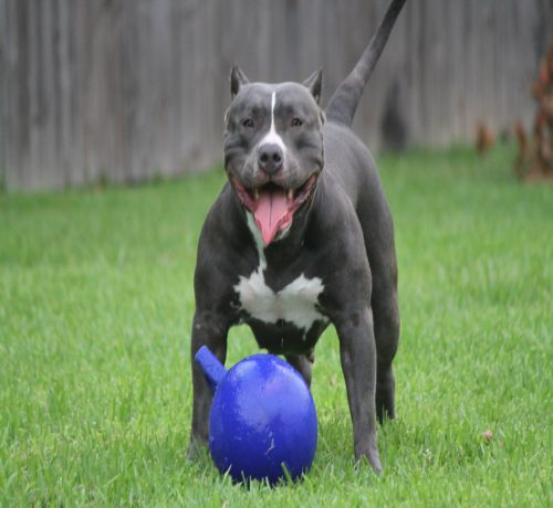 Pitbull Playing With Blue Ball