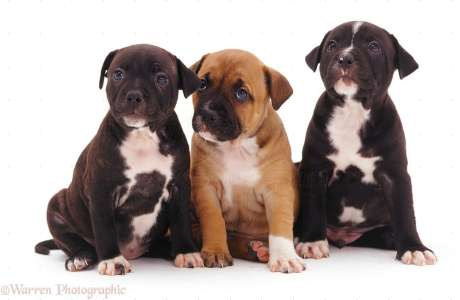 cute staffordshire bull terrier puppies