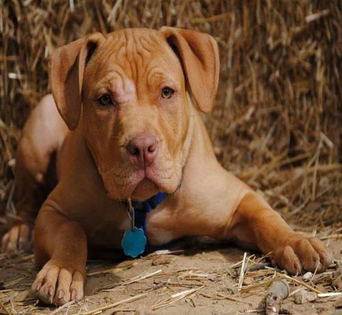 7 Important Facts About Red Nose Pit Bull Dog Breed ...