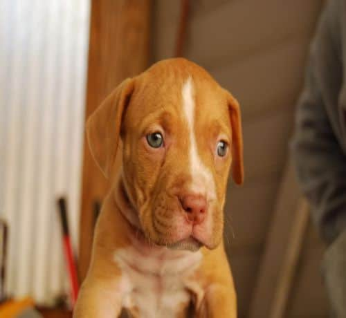 red and white pitbull puppies wwwimgkidcom the image