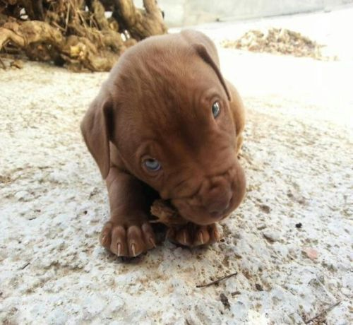 Red Nose Pitbull Puppy Dog Color Brown