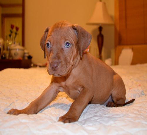 Brown Red Nose Pitbull Puppy Picture