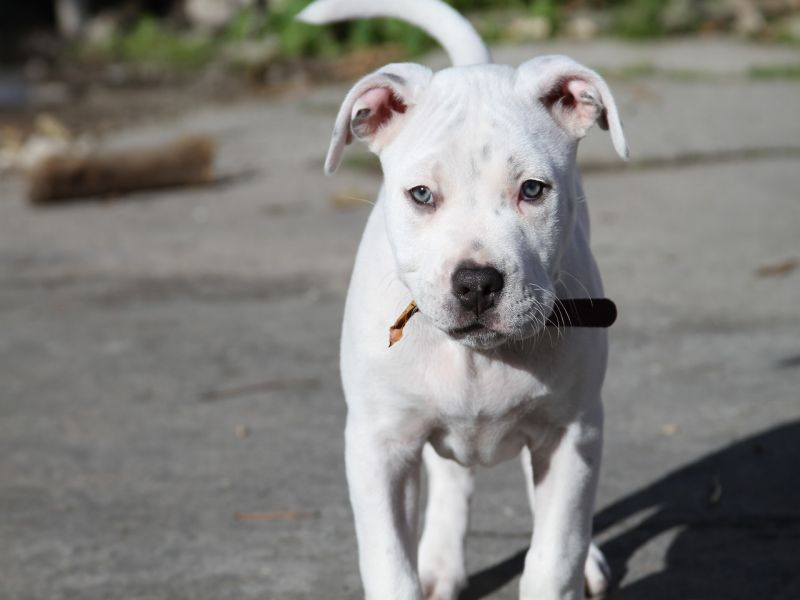 Amazing White Pit Bull with Blue Eyes
