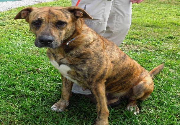 Brindle Pitbulls - 10 Reasons Why This Dog Breed Are Very Loving and