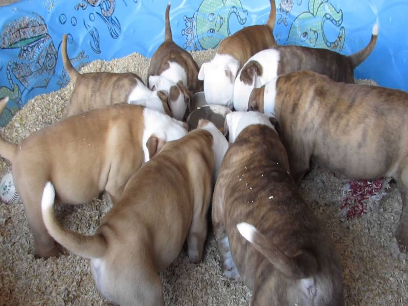 American Bully Puppies Eating Dog Foods Picture