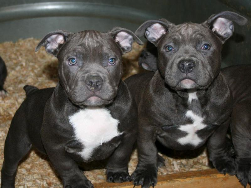 American Bully Puppies Pictures