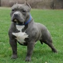 Razor Edge American Bully Picture
