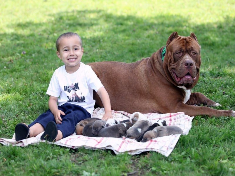 Biggest american pitbull terrier in the world