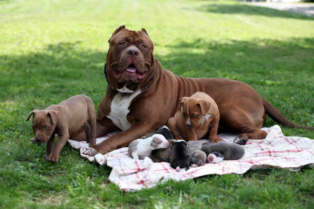 The world's biggest Pitbull has fathered eight Pitbull puppies