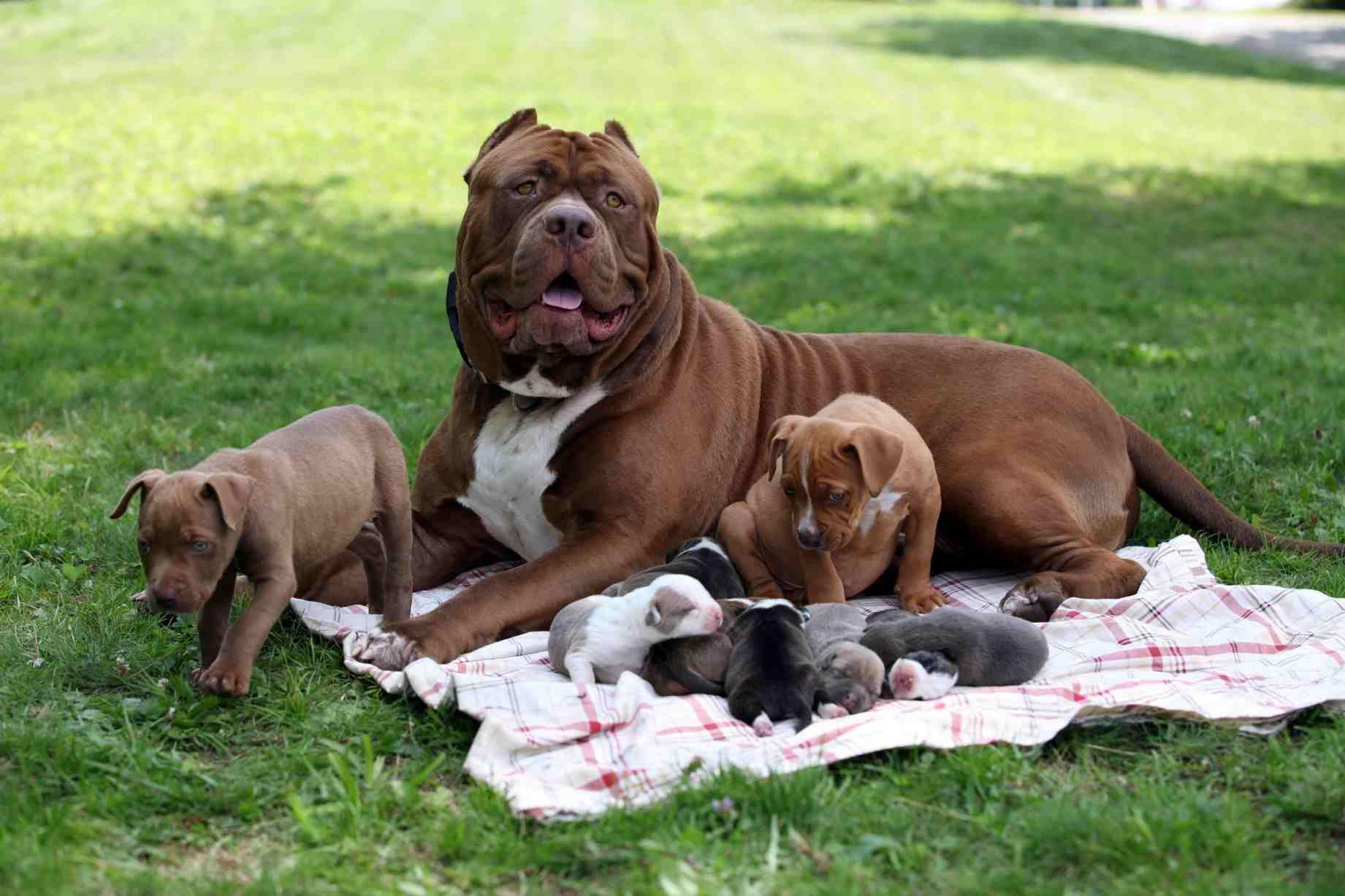 Hulk - World Largest Pitbull has fathered eight Pitbull puppies