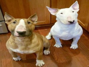 2 Cute Bull Terrier White and Brown