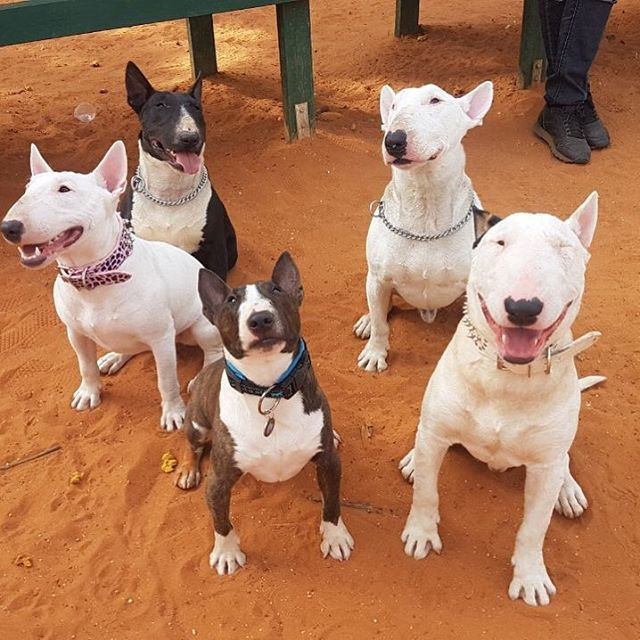 Bull terrier family dog breeds