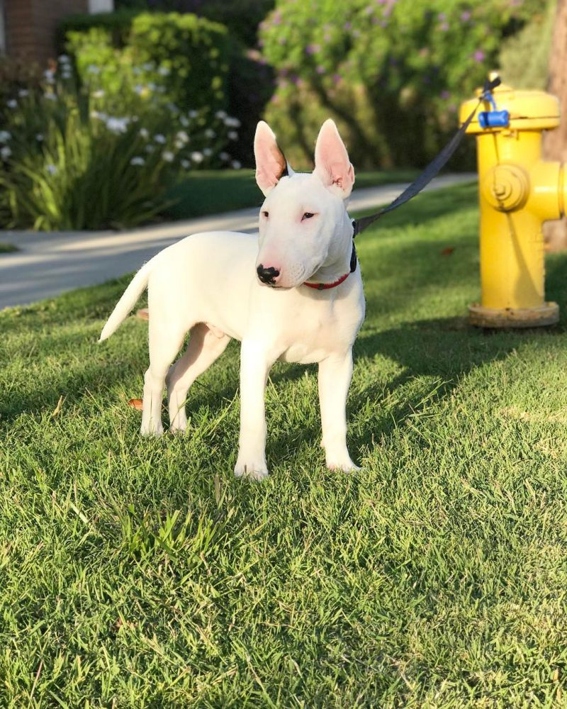 Beautiful White Terrier