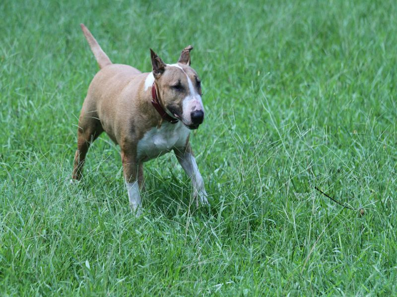 Bull Terriers Facts and History