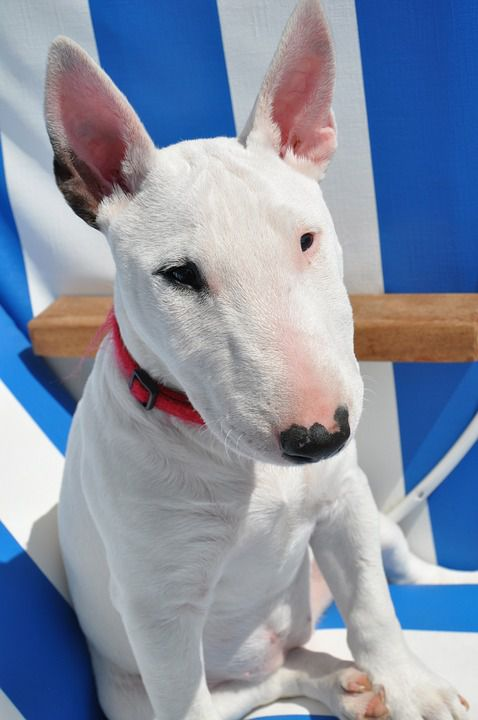 White Bull Terrier Pictures
