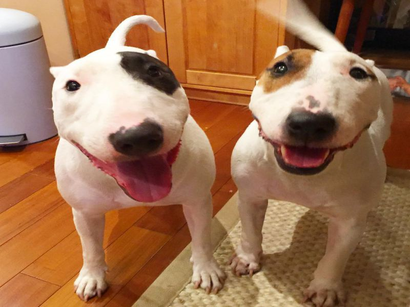 2 cute Miniature Bull Terriers