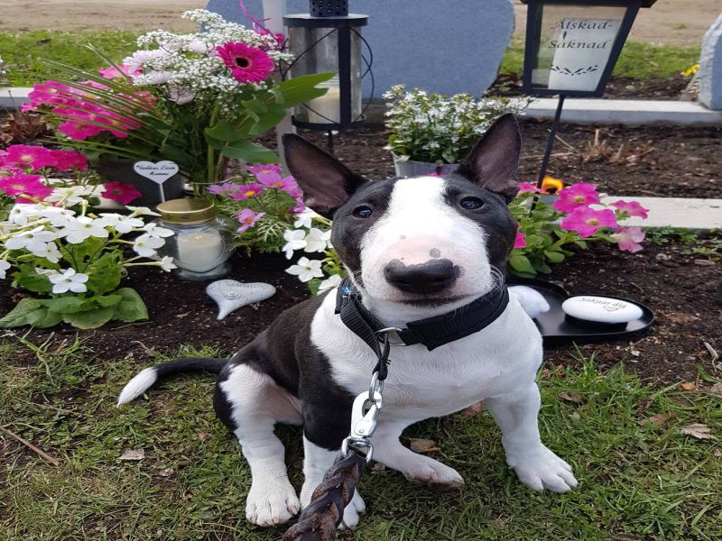 Black n White Miniature Bull Terrier