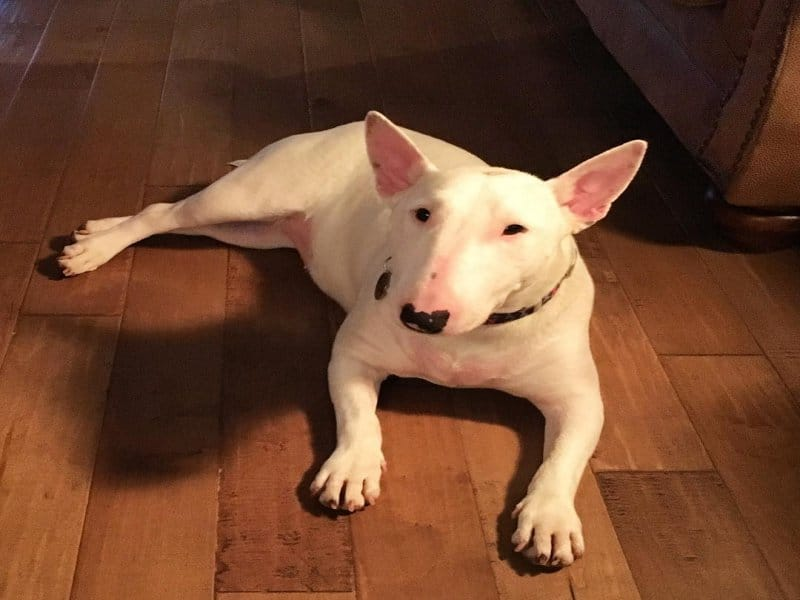 Bull Terrier Temparament