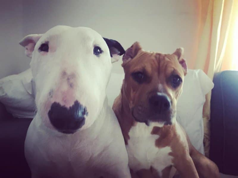 Bull Terrier and Pit Bull