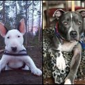 Bull Terrier vs Pit bull choose your favorite dog breed