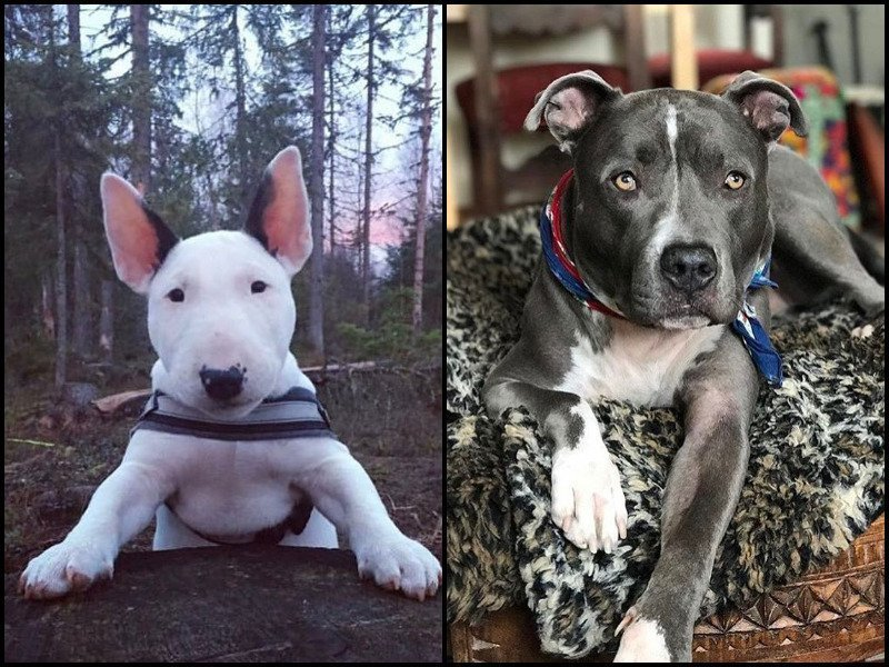 Bull Terrier Vs Pit Bull: You Either Love One or Love Both!