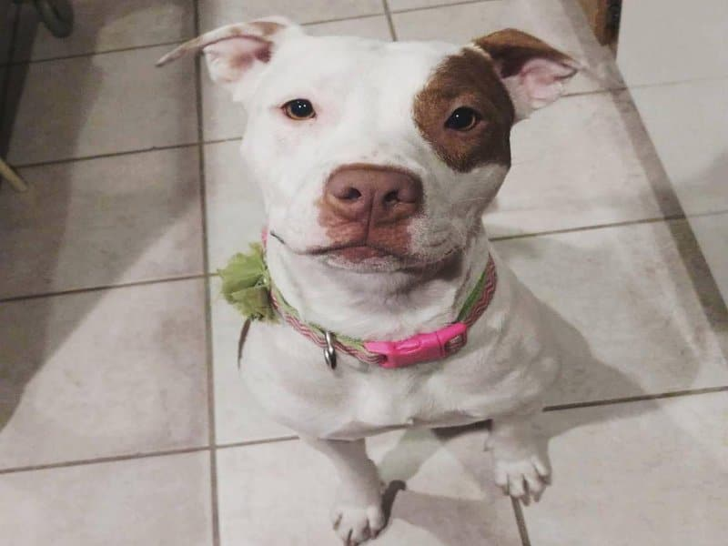 Cute White Pit bull