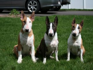 Miniature Bull Terrier Puppies