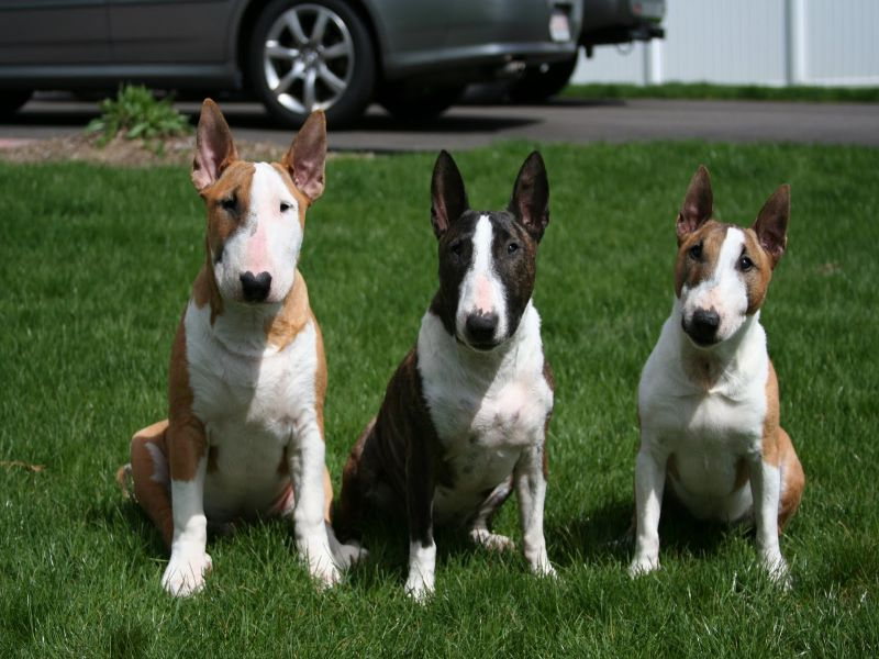 Miniature Bull Terrier This 15 Facts Will Make You Fall