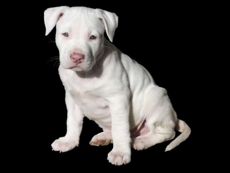White Pocket Pitbull