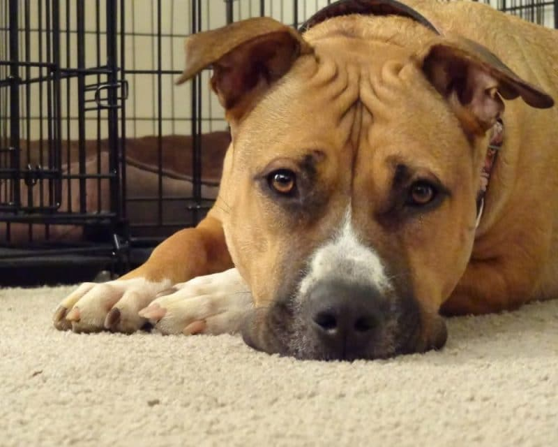 Adopting A Dog With Separation Anxiety