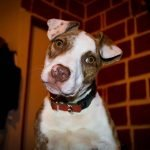 Pocket Pitbull – The Amazing Facts About This Hybrid Dog