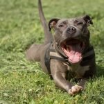 13 Ridiculously Adorable Pitbull Mixes You Wouldn't Believe Exist