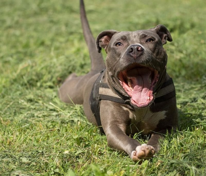 Pitbull Mixes List