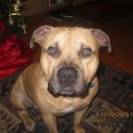 Pitbull Mastiff – The Incredible Large Protective Dog Mix (Guide)