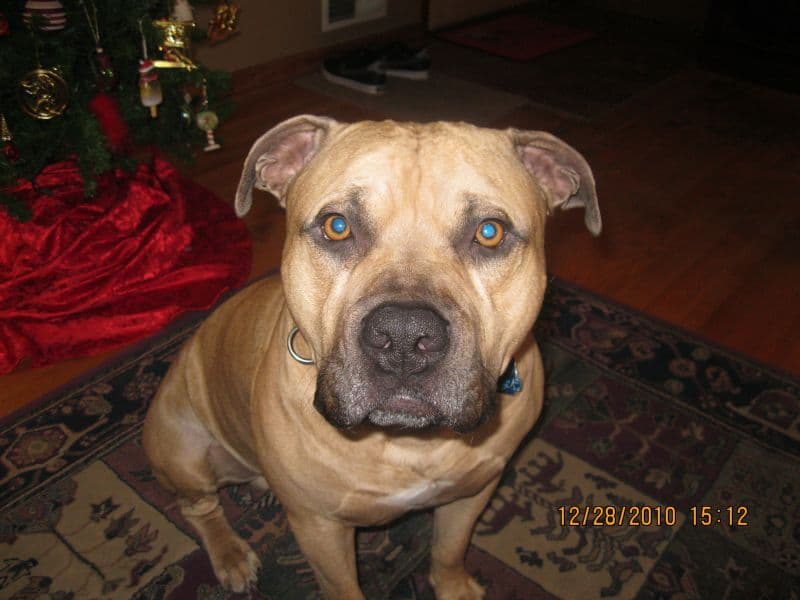 Pitbull Mastiff Mix Picture