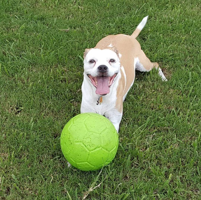 Pug Mix with ball