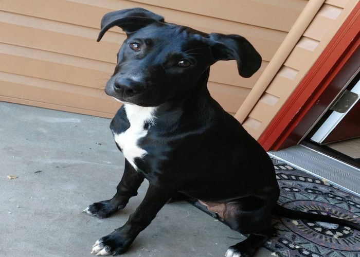 13 Ridiculously Adorable Pitbull Mixes You Wouldn't ...