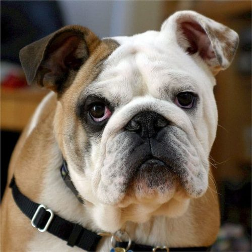 Cute English Bulldog