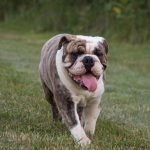 English Bulldog Playing