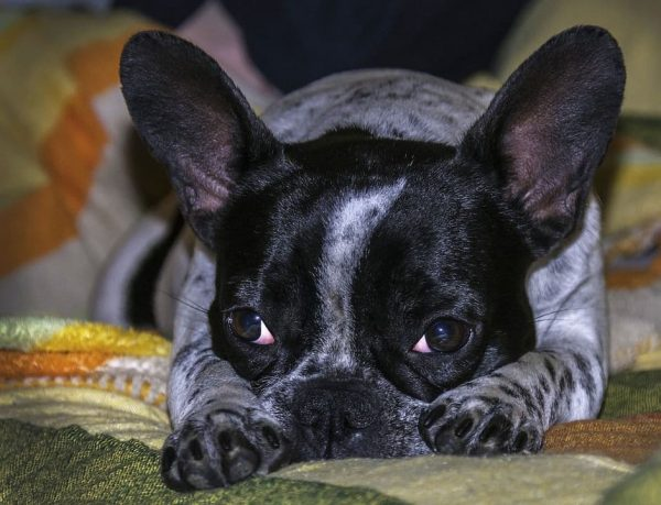 Lazy French Bulldog
