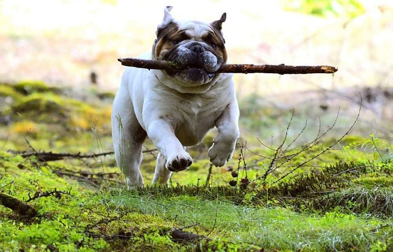 Adorable Types of Bulldogs That Everyone Should Know
