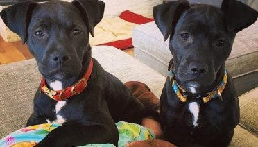 2 cute black lab pitbull mix puppies