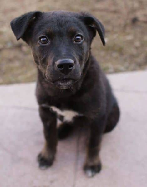 Black Pitbull Lab Mix Puppy