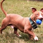 Pitbull Dachshund Mix Picture