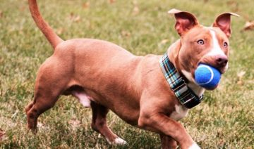 Pitbull Dachshund Mix Best Temperament are Playing